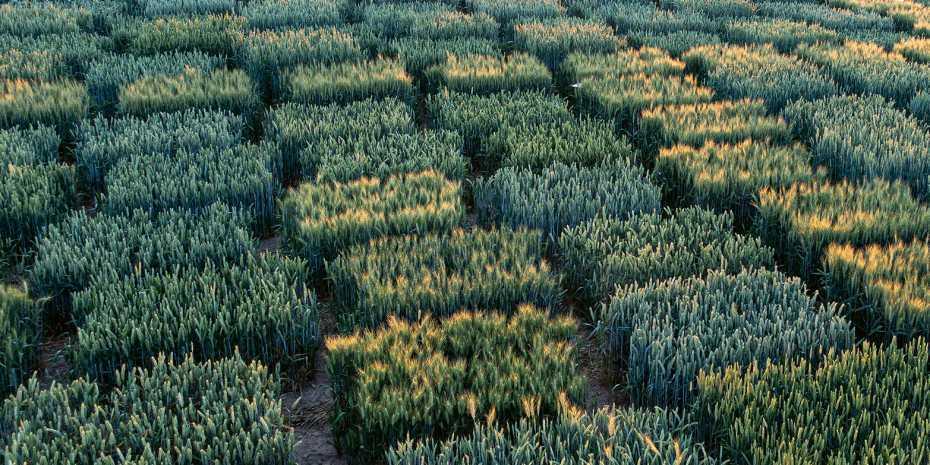 Soll die Schweiz die neue Gentechnik für eine nachhaltigere Landwirtschaft nutzen? Im Bild: Variationen von Weizen in einem Testfeld. (Bild: Andreas Hund / ETH Zürich)