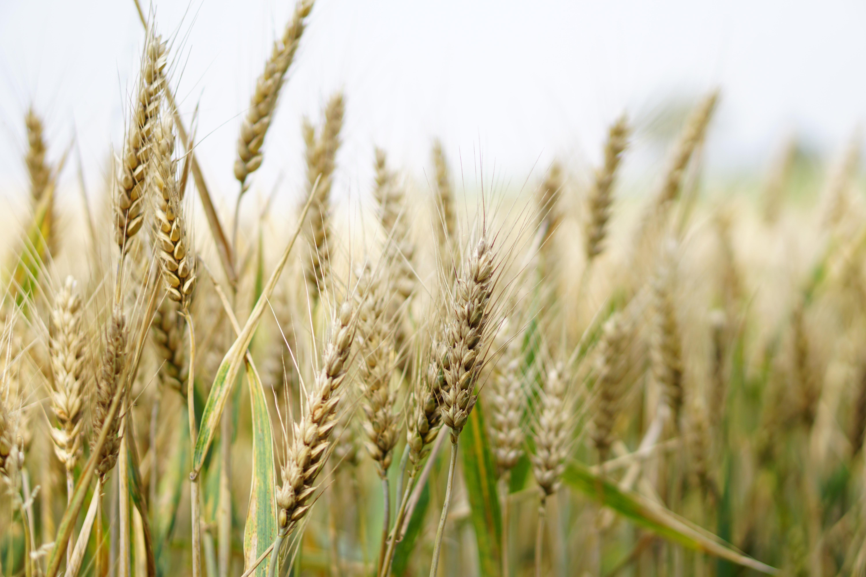 Die Idylle trügt: In jedem Weizenfeld herrscht ein Wettrüsten zwischen Kulturpflanze und Krankheiten. (Bild: Adobe Stock)