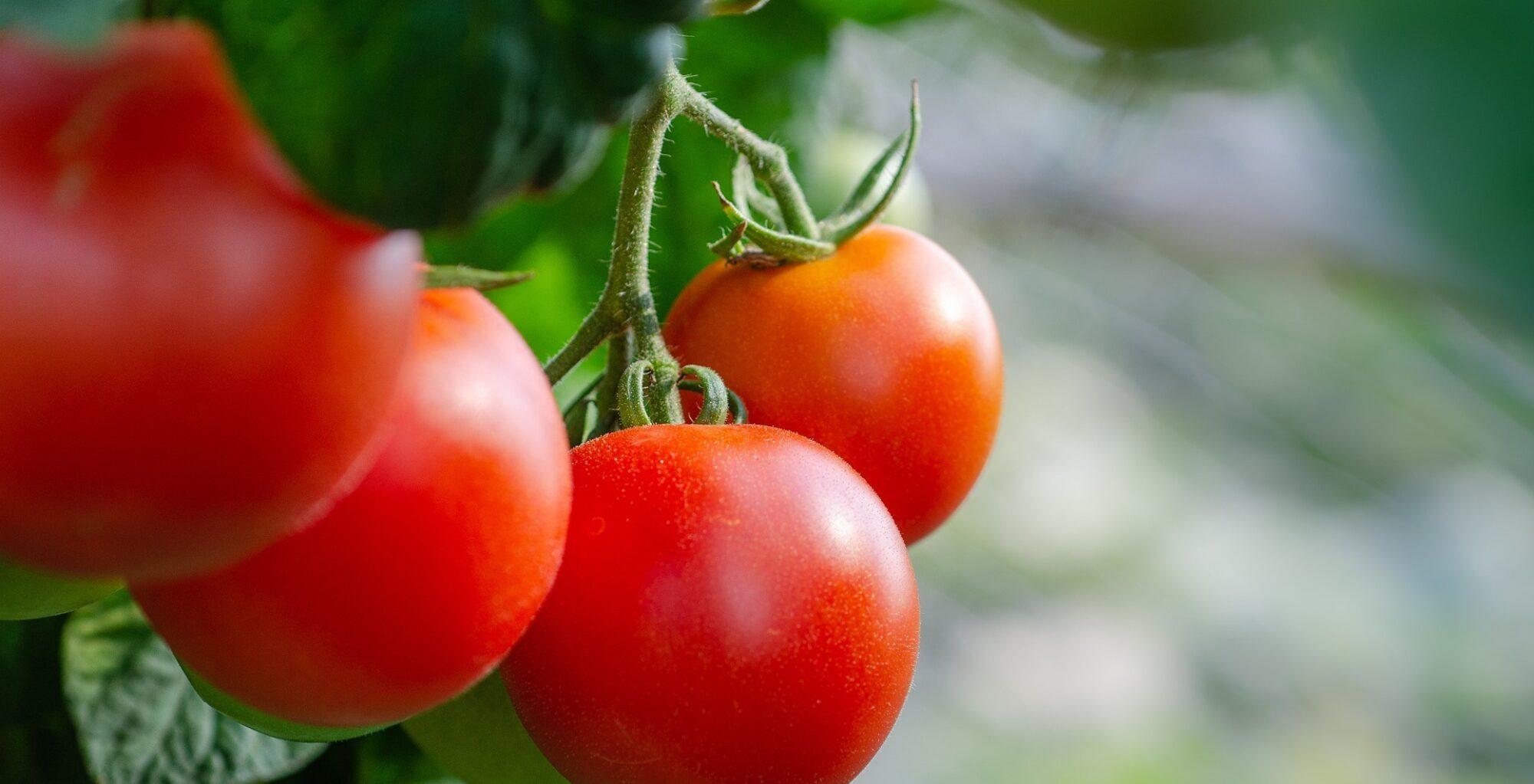 Tomaten: Von der «Wasserbombe» zur aromatischen Frucht