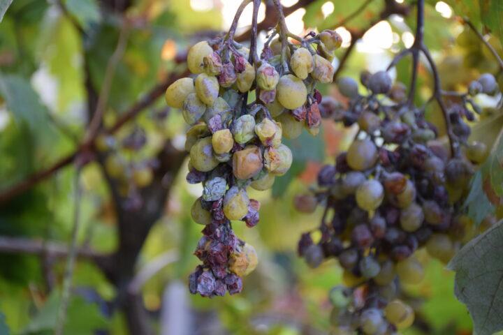 Weinbau: Ohne Synthetik geht es nicht
