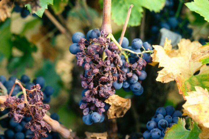 Kanton Zürich: Bis zu 90 Prozent weniger Weintrauben