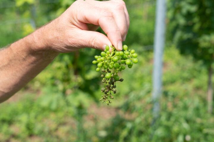 Ostschweizer Weinernte: Ohne Pflanzenschutz geht es nicht
