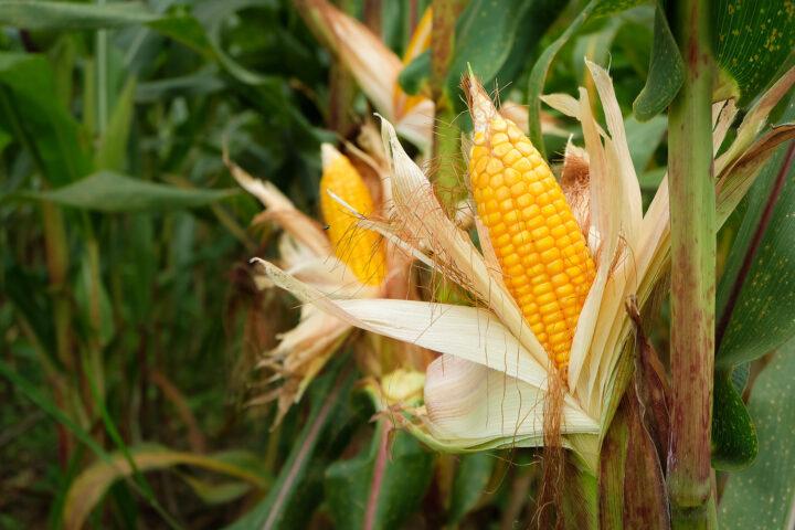 Insektenresistenter SmartStax-Mais schadet Wasserflöhen nicht