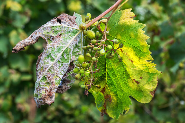 Dauerregen vernichtet Ernten