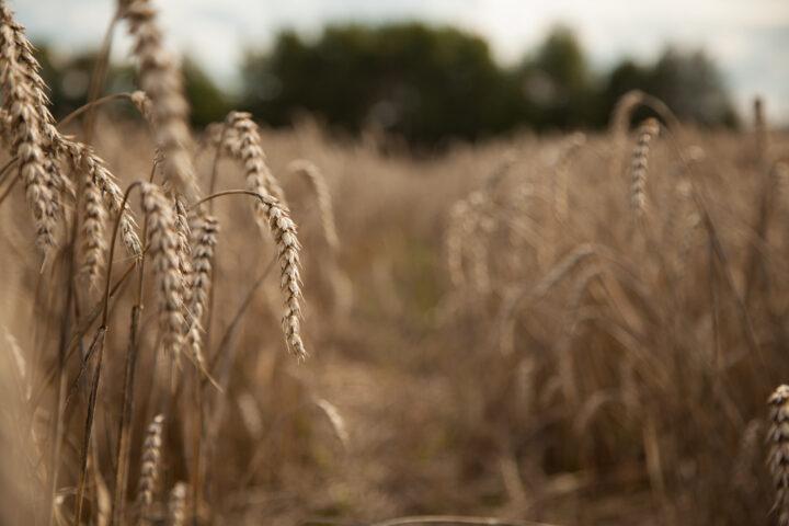 Deklassierter Weizen und Obst mit Befall