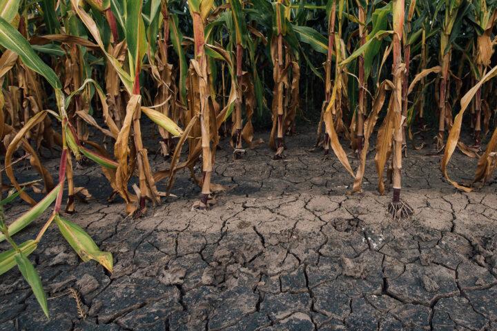 Klimawandel erfordert Präzisionszüchtung
