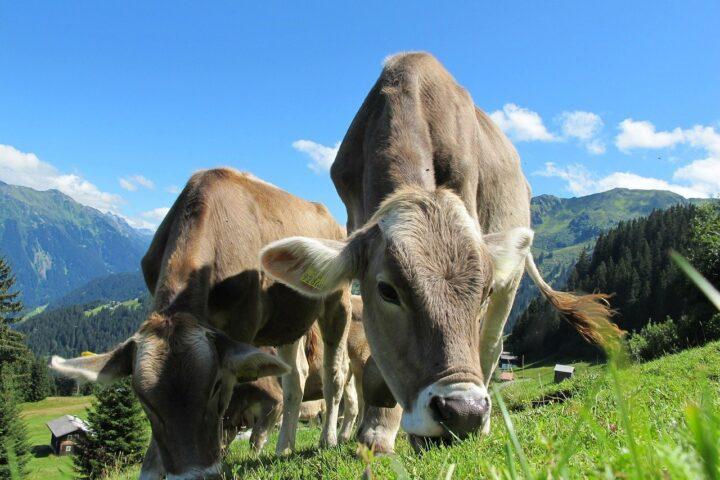 Genom-Editierung auch in der Tierzucht