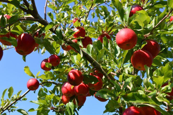 Genschere für die Apfelzüchtung