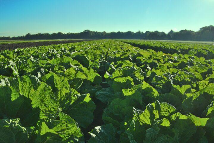 Dramatische Ertragseinbrüche ohne Pflanzenschutz